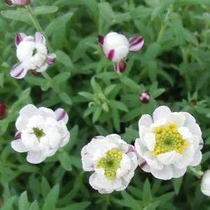ハナカンザシの花は