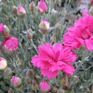 ライオンロックの花は