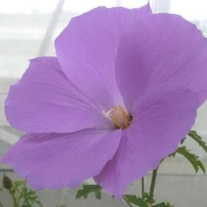 アリオギネヒューゲリーの花は