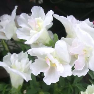 トゥイニーの花は