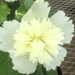 アルセア・スプリングセレブリティーズの花は