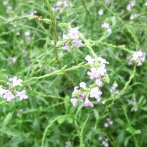 バーベイン・バンプトンの花は