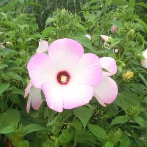 タイタンビカスの花は