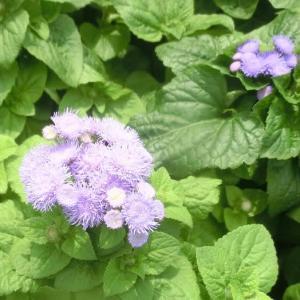 アゲラタムの花は