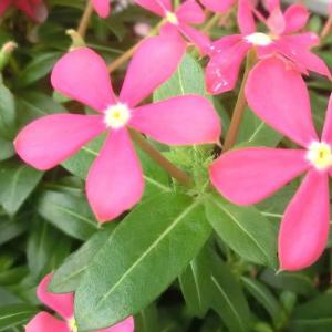 フェアリースターの花は
