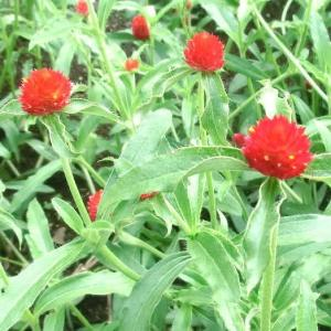 ストロベリーフィールドの花は