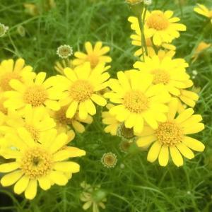 ダールベルグデージの花は