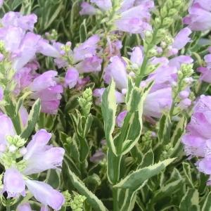 班入りカクトラノオの花は