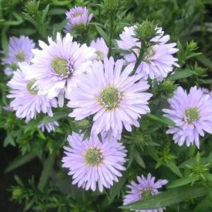 八重咲きクジャクソウの花は