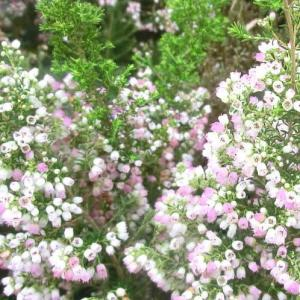 エリカメランセアの花は