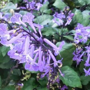プレクトランサス・モナラベンダーの花は