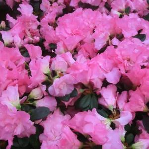 アザレア・ひろかの花は