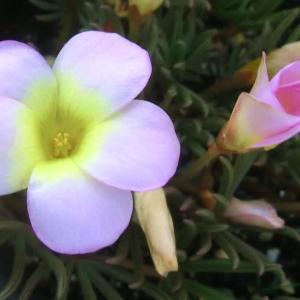 オキザリス・パルマピンクの花は