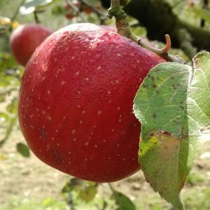 秋はりんご狩りへ