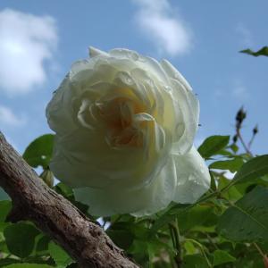 結局体重はそこまで減らない、、、バラが咲き始めました