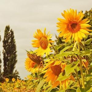 ひまわりの花と夏へのあこがれ