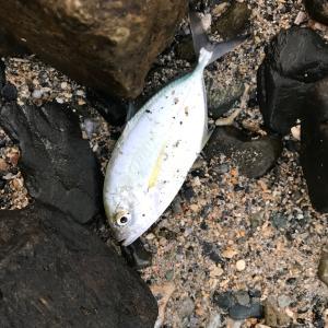 沖縄本島ウェーディング!謎魚が釣れました!魚種教えて下さい♪