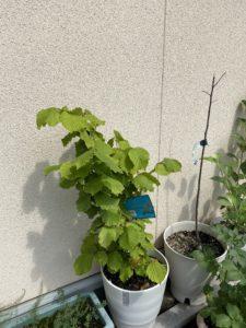 謎な植物!ヘーゼルナッツがどうなるかな?