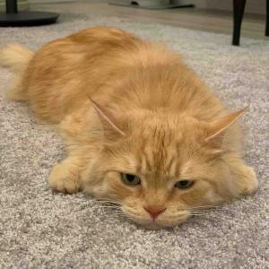 「床にへばりつくネコ」
