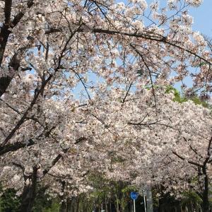 今年の桜とスーパームーン