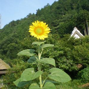 夏の花、ひまわり