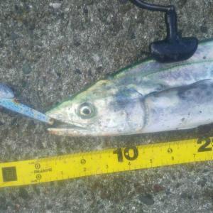 サゴシの釣果報告