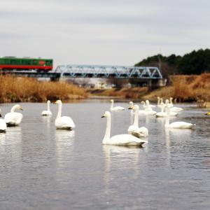 真岡線 小貝川橋梁の白鳥