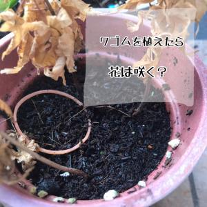 子どもの疑問 輪ゴムを植えたら、花は咲く?