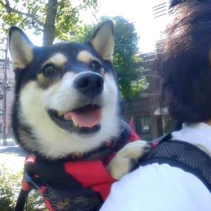 柴犬をリュックに入れて自転車に乗ってみたら可愛かった話【犬用リュック】