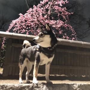 大和ちゃんと「梅を見る会」について