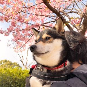 【柴犬+桜】鶴見緑地の河津桜を見てきたゾ!【=可愛い】