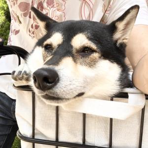 靭公園へ散歩に行くも暑くてダレる柴犬ちゃん。
