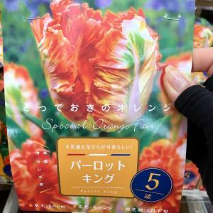 花オタクが気になるオレンジのチューリップ(*≧∀≦*)