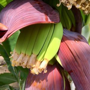 国産バナナの、花の蜜の味って !?
