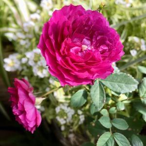 寒いなかで見る バラはまた別格    ( ⸝⸝⸝°_°⸝⸝⸝ )