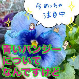 \今年の青いパンジーすごくない?/夢中になりそな青の世界へ☆ よく咲くスミレ・ブルーフィズ