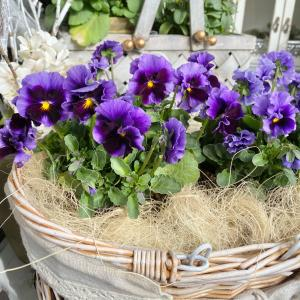 \冬ガーデニングならではの手抜きワザ♪/ビニールポットの鉢増しだけでも花は咲く ⸝⸝⸝˘◡˘♡