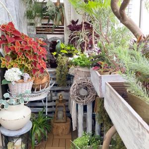 栄養系コリウス・ミリオンレッドに彩られた秋色ガーデン♪