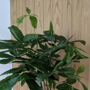 会社新築祝の観葉植物