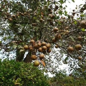 今年も鈴生り~100年以上の古い梨の木
