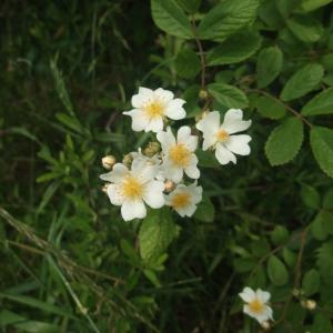 雑草なんて呼ばないで♪(^‐^)v 江戸川放水路と近所の花