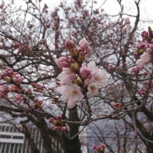 深山の雪。そして桜咲く。