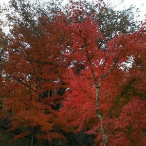 山中湖の紅葉と大鯉