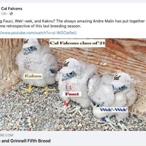 Cal Falcon Family: 今シーズンの子育て記録動画