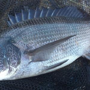 博多湾のチヌ釣り