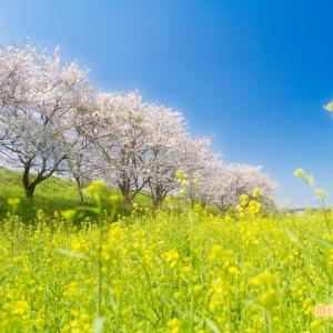 桜は、厳しい寒さがあるからこそ、花が咲く。