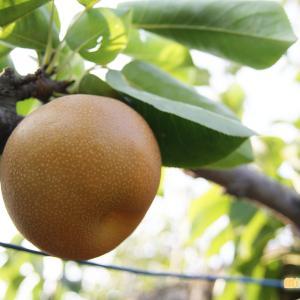 「梨の日」に、感謝の気持ちを伝える大切さを想います