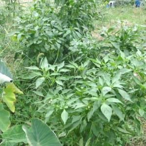 草の中に野菜(≧▽≦) & 半沢直樹