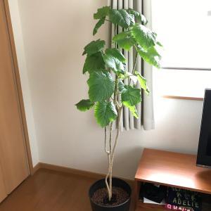 葉っぱから根っこが生えてきた!(゚∀゚)