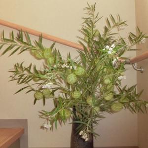 不思議な植物:風船唐綿
